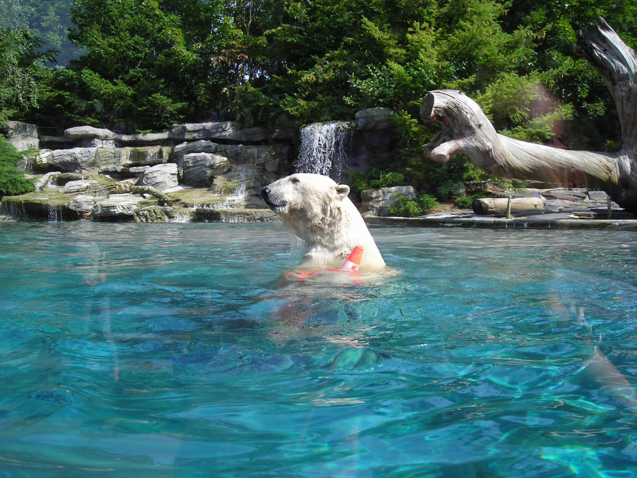 Ours blanc au zoo de la fleche