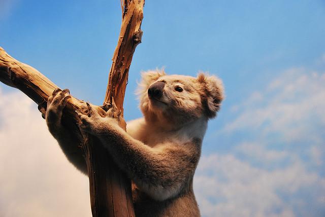 photo d'un koala