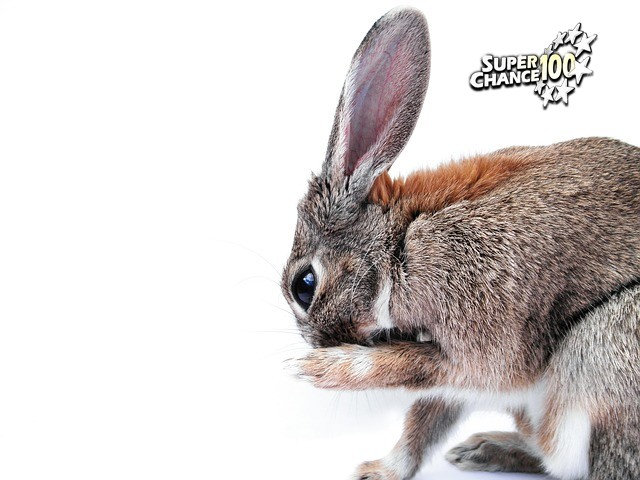 Un lapin à grandes oreilles se lèche la patte.